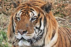 Tigre (PhSilviaM) Tags: zoo tiger felini tigre fasano