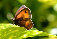Gatekeeper in the Sunshine (Eleanor (No multiple invites please)) Tags: nature butterfly garden gatekeeperbutterfly fantasticnature natureislife naturescreations naturesprime natureskingdom thenaturessoul anaturecanvas aboutthenaturewithlove brigettesbeautifulnaturegallery anythingnikonexceptpeople