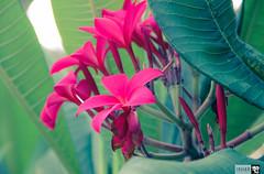 IMG_0750 (indikaparane) Tags: flowers nature kit srilanka lense 18135 araliya canon600d