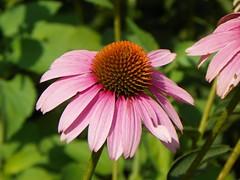 Pink Flower (Sam Halladay) Tags: pink summer flower nature beautiful beauty field leaves yard garden botanical outside outdoors back focus dof kodak bokeh clarity sharp petal clear botany depth easyshare z981