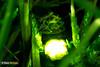 Glow Worm Jade (Dom Greves) Tags: uk summer night woodland insect nocturnal wildlife beetle july surrey boxhill invertebrate glowworm bioluminescent coleoptera bioluminescence lampyrisnoctiluca chalkdownland calcareousgrassland