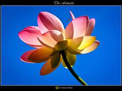 Die Traumhafte/The Fantastic// (shaman_healing) Tags: summer nature garden sommer natur exotic botanic garten erlangen exotik botanik lotusblte botanischergartenerlangen botanicalgardenerlangen lutsflower