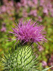 Blooming thistle (Wilma1962*) Tags: flower thistle distel bloem spearthistle speerdistel ulebelt mygearandme mygearandmepremium