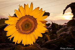 sunsetflower (Philipp Endemann) Tags: sun macro nature canon colours close 7d sunflower l 24105mmf4 sunsetflower