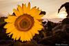 sunsetflower (Philipp Endemann) Tags: sun macro nature canon colours close 7d sunflower l 24105mmf4 sunsetflower