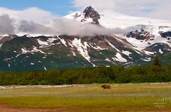 Katmai National Park (Amy Hudechek Photography) Tags: bear mountain snow alaska clouds nikon grizzly d300 katmainationalpark happyphotographer coastalbrownbears mygearandme topphotospots tpslandscape tpsnature