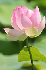 IMG_3973 (MUMU.09) Tags: photo foto lotus flor  bild blume fiore  imagem     flori       fiorediloto hoasen flordeloto  lotusblomma floweroflotus   lotosblume fleurdelotus     ltuszvirg kwiatlotosu  lotusblomst lotusblth lotusblm   lotosovkvt lotusiei mumu09