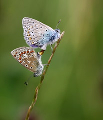 """""""Polyammatus icarus"""" ( male on top ) , explored! ( #464 ) (bugman11) Tags: macro nature animal animals fauna canon butterfly bug insect nederland thenetherlands butterflies insects bugs platinumheartaward 100mm28lmacro ringexcellence"""