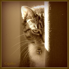 Pee a boo (Cajaflez) Tags: portrait pet cute eye cat kat chat peekaboo curtain panasonic explore katze portret gatto huisdier poes coucou oog zus sepis gordijn mfcc thegalaxy bestofcats kiekeboo 100commentgroup saariysqualitypictures dmcfz150 ruby5 panasonicdmcfz150 picmonkey