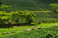Women Harvesting Tea 2 (e.nhan) Tags: blue sky nature landscape women tea tags harvesting enhan