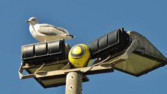 Bird and Ball (Jani Helle) Tags: bird fauna scotland football seagull portpatrick dumfriesandgalloway portphdraig september2011