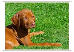 Vizsla Puppy (eLKayPics) Tags: dog pet cane puppy pointer pentax vizsla perro hund kutya istds welpe hungarianvizsla vorstehhund jagdhund magyarvizsla elkaypics