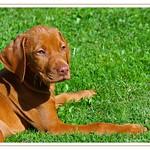 Vizsla Puppy thumbnail