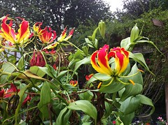 Glorious Gloriosa (thegardenbuzz) Tags: flowers red yellow tropical savannah gloriosadaisy savannahgeorgiastreetscenesgardens