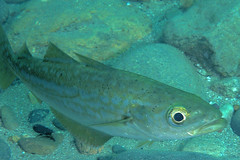 NorthLleyn-201208-TreforPier-Fish-Pollock2-Juv-PollachiusPollachius (Tony J Gilbert) Tags: nikon marine underwater diving 60mm d300 northwales lleyn 105mm trefor lleynpeninsula treforpier northlleyn penrhynglas