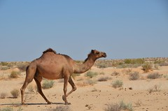 Camel in the desert (5) (Prof. Mortel) Tags: desert tunisia camel