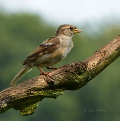 Sparrow (joeke pieters) Tags: bird nature sparrow mus vogel 1000645 panansonicdmcfz150