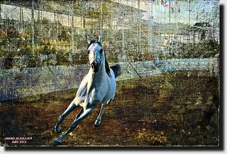 ARAB HORSES- 17