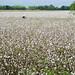 Un contadino passa con la sua bicicletta in un campo di cotone