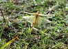 Grasshopper Lift Off - Bayou Courtableau, Louisiana (Image Hunter 1) Tags: green nature grass insect wings louisiana legs ground bayou liftoff swamp greenery grasshopper marsh transparent takeoff wingspan wingspread canoneos7d bayoucourtableau