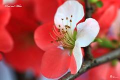 1 (likerain2011) Tags: china canon nanjing topshots photosandcalendar flowersarebeautiful excellentsflowers natureselegantshots mimamorflowers flickrflorescloseupmacros panoramafotogrfico theoriginalgoldseal flickrsportal
