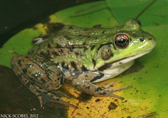 Northern Green Frog (Nick Scobel) Tags: green michigan frog northern rana clamitans melanota