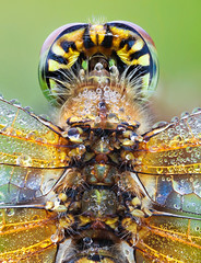 Yellow-winged Darter II (johnhallmen) Tags: macro insect dragonfly naturallight darter odonata canonmpe65 vu2 canon5dmkii zerenestacker