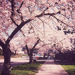 #sakura #cherryblossom (rocketcandy) Tags: pink flowers blue sky canada flower tree nature vancouver square cherry dance spring branch afternoon blossom dream windy petal explore squareformat cuddle photowalk cherryblossom imagination sakura cherryblossoms loves fade 365 breezy springtime drift starred sakuras project365 365days explored 365project iphoneography rainspace instagramapp uploaded:by=instagram foursquare:venue=4ef645da77c8e88f46d83524