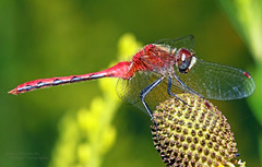 Meadowhawk Side Shot (Emery O) Tags: macro canon dragonfly 180mmlseries