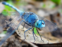 Indian Ground Skimmer (Gladson777) Tags: blue india macro green insect dragonfly outdoor indian sony ground pali skimmer vasai naigaon hx100v