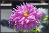 A Pink Beauty ...To Brighten Up Your Day.. (Sunciti _ Sundaram's Images + Messages) Tags: 1001nights brightspark enstantane flickraward flickerdiamond brillianteyejewel concordians brilliantphotography fabulousflicks mallimixstaraward elitephotgraphy flickrmasterpieces capturethefinest