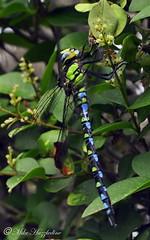 DRA 001    ~~~ Dragonfly:-  The Southern Hawker ~~~ (Mike Hazzledine -- British Biodiversity) Tags: insect showcase invertebrate aeshnacyanea aeshna cyanea dragondamselflies
