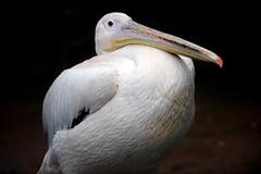 Pelican (floridapfe) Tags: bird nature animal zoo nikon korea everland