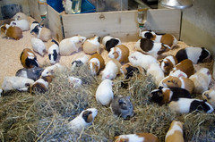 Guinea Pig Party (beatplusmelody) Tags: cute animal animals japan japanese tokyo guinea pig