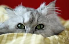 (akk_rus) Tags: pet cats pets nature animal animals cat persian chats nikon feline chat russia moscow chinchilla gato 28 nikkor marcello moskau moscou     3570  d80 nikond80 nikkor357028