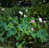 Lotus Flowers at the Lily Ponds, The Huntington Gardens (Ms. Jen) Tags: california huntingtonlibraryandgardens huntingtonlilyponds nikon nikon50mmf14glens nikond800 photobyjeniferhanen sanmarino thehuntington lotus lotusflowers msjencom