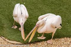 DSC_2327 (Pascal Gianoli) Tags: beauval bird oiseau pelican plican zoo zooparc saintaignansurcher centrevaldeloire france fr pascal gianoli pascalgianoli