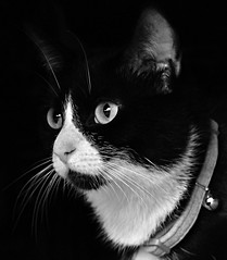 Mittens (SteveH1972) Tags: canon700d canonef70200mmf28lusm cat cats mittens pet animal cute black white portrait northlincolnshire bartonuponhumber uk britain europe feline eyes whiskers blackandwhite