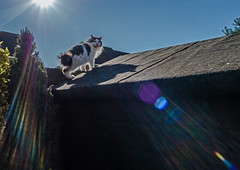 Cat on a hot shed roof (Tilly the 3-legged Cat about to escape for a few hours)  Olympus OMD EM5II & mZuiko 12mm f2 wide Prime (1 of 1) (markdbaynham) Tags: pet cute animal cat prime feline evil olympus flare f2 12mm tilly omd csc mz 3legged m43 zd mft em5 mirrorless micro43 micro43rd mzuiko m43rd em5ii zuikolic