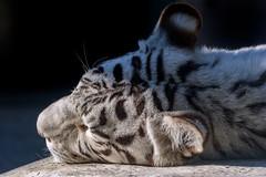 Kara  - Once Upon a Dream (Harimau Kayu (AKA Sumatra-Tiger)) Tags: kara tiger zoo animal bigcat bigcats feline bengaltiger pantheratigristigris knigstiger indischertiger eltigredebengala tigredubengale latigrerealedelbengala   whitetiger weisertiger tigreblanco tigreblancroyal   zooshot tobu tobuzoo snowwhite mirrormirror mutti mutter muttivonvierkindern frhlingserwachen springawakening monday