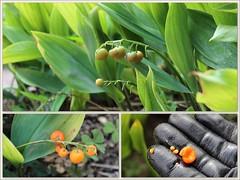 Fruchtstand des Maiglckchen (Convallaria majalis) (Maggi_94) Tags: maiglckchen convallariamajalis fruchtstand frucht frchte fruit fruits spargelgewchse spargelgewchs asparagaceae giftpflanze