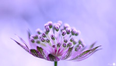 Sugar candy (Trayc99) Tags: candy pink flower astrantia delicate decorative beautyinnature beautyinmacro beauty floralart flowerphotography floral softbackground serene pastel