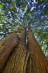 Western red cedar (timnutt) Tags: castle victoria vancouverisland colwood garden gardens cedar tree foliage