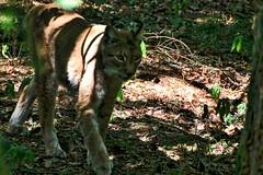 Luchs in Licht und Schatten (c4harry) Tags: tiere chattengau wildtierpark kellerwald edersee wald luchs