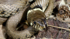 Grass Snake (jaytee27) Tags: grasssnake naturethroughthelens