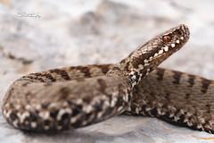 STZ_2721fb (szugic) Tags: snake viper viperidae venom poison vipera viperaberus berus bosniensis sarka montenegro