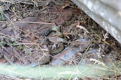 Injured Grass Snake (Bob Hawley) Tags: nikond7100 summerholidays england suffolk theberton nikon50mmf14 holidaycottages grasssnakes herpetology reptiles injuries injured natrixnatrix