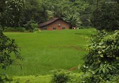 a house near rice fields (Konkan) (Bhushan Barve) Tags: konkan ricefield greenery
