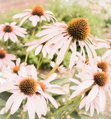 Echinacea_DSC9451.jpg (tahcreative) Tags: summer connecticut flowers plants outdoor 2016 botany newengland northamerica echinacea nature