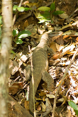 Monitor Lizard (Deepu Cyriac) Tags: indianforest silentvalley silentvalleynationalpark silentvalleynp monitorlizard nature wildlife westernghats travel kerala